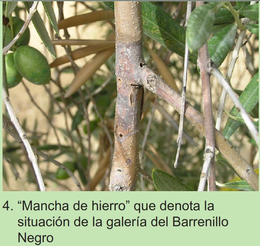 Barrenillos del olivo 2uyrc7t
