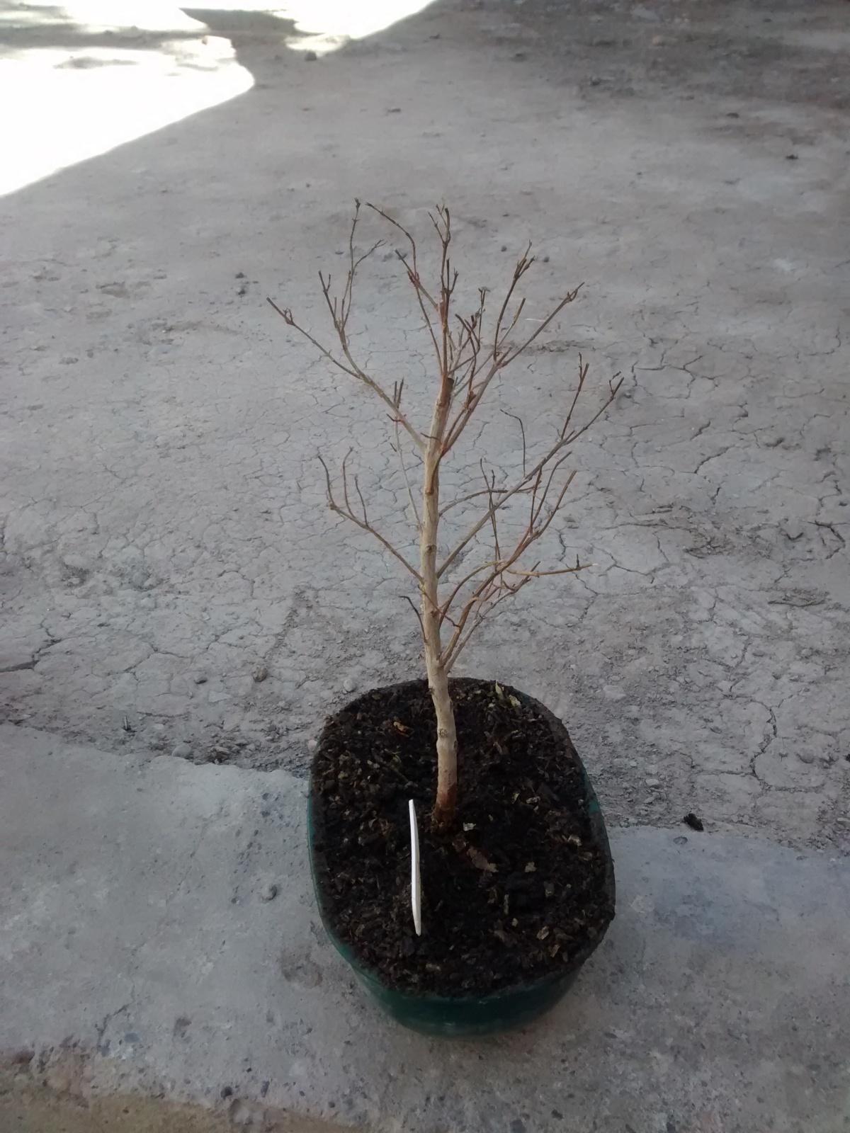 Ayuda urgente! Eugenia myrtifolia se me seca y no lo puedo detener 30mbhh0