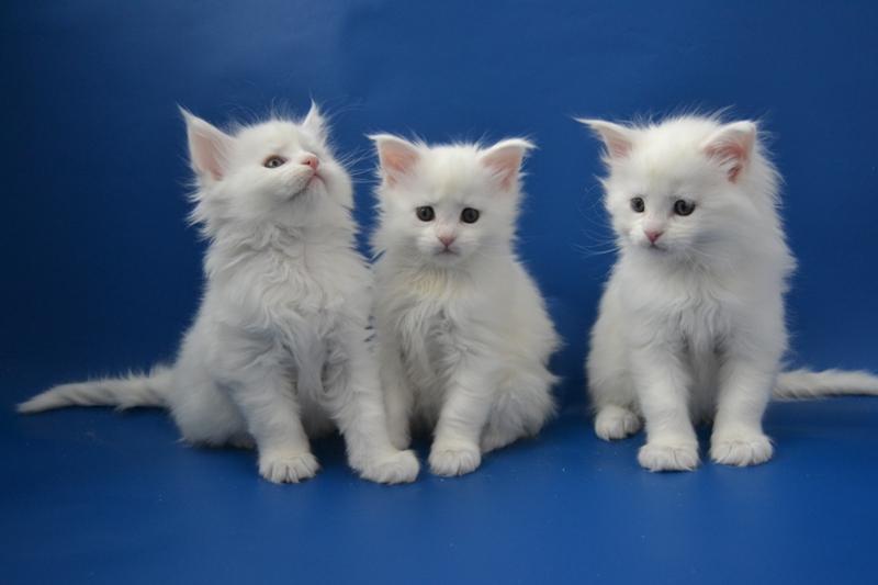Генетика окрасов: Белый в окрасе кошек 4gkf40