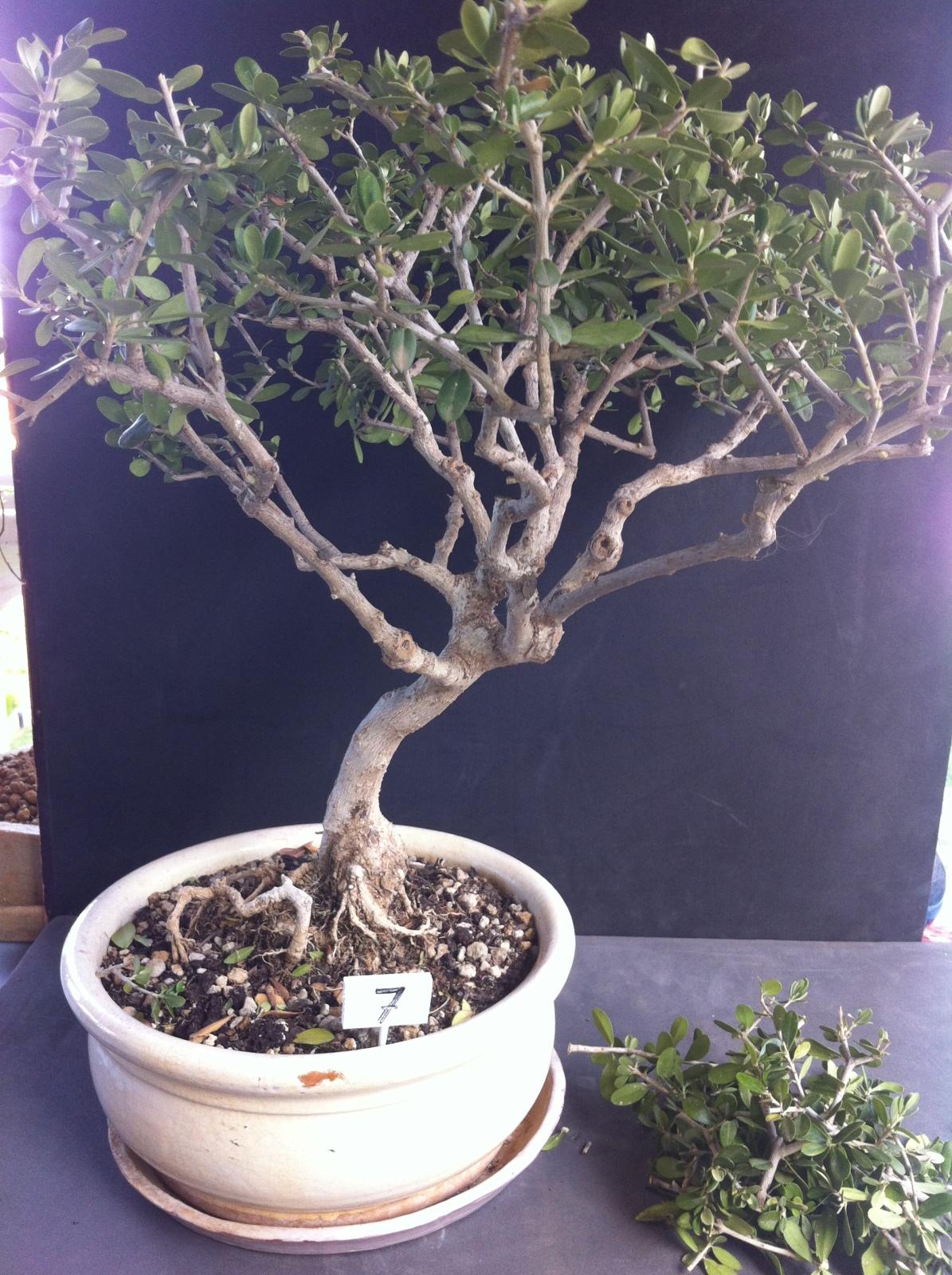 Poda y trasplante de olivo Sbskdw