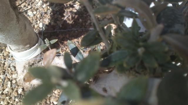 Ullastre ,se le secan las hojas y no tiene crecimiento??????? Szu9zb