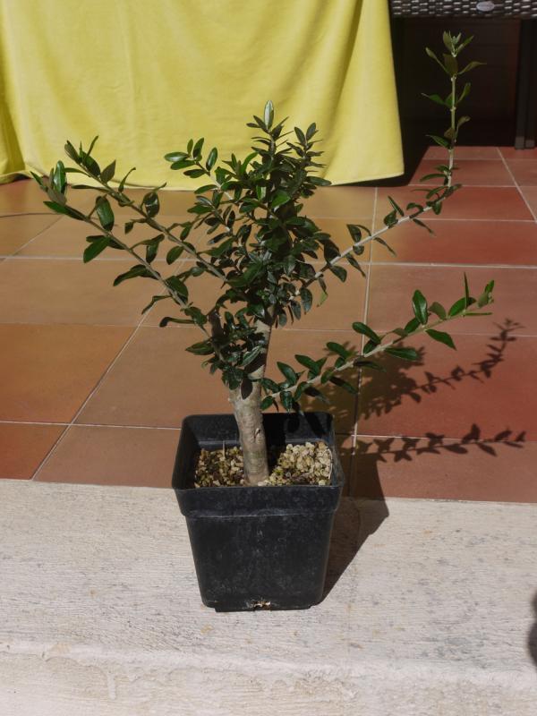 Mi primer olivo yamadori (ACTUALIZADO A VI/2018) T55b84