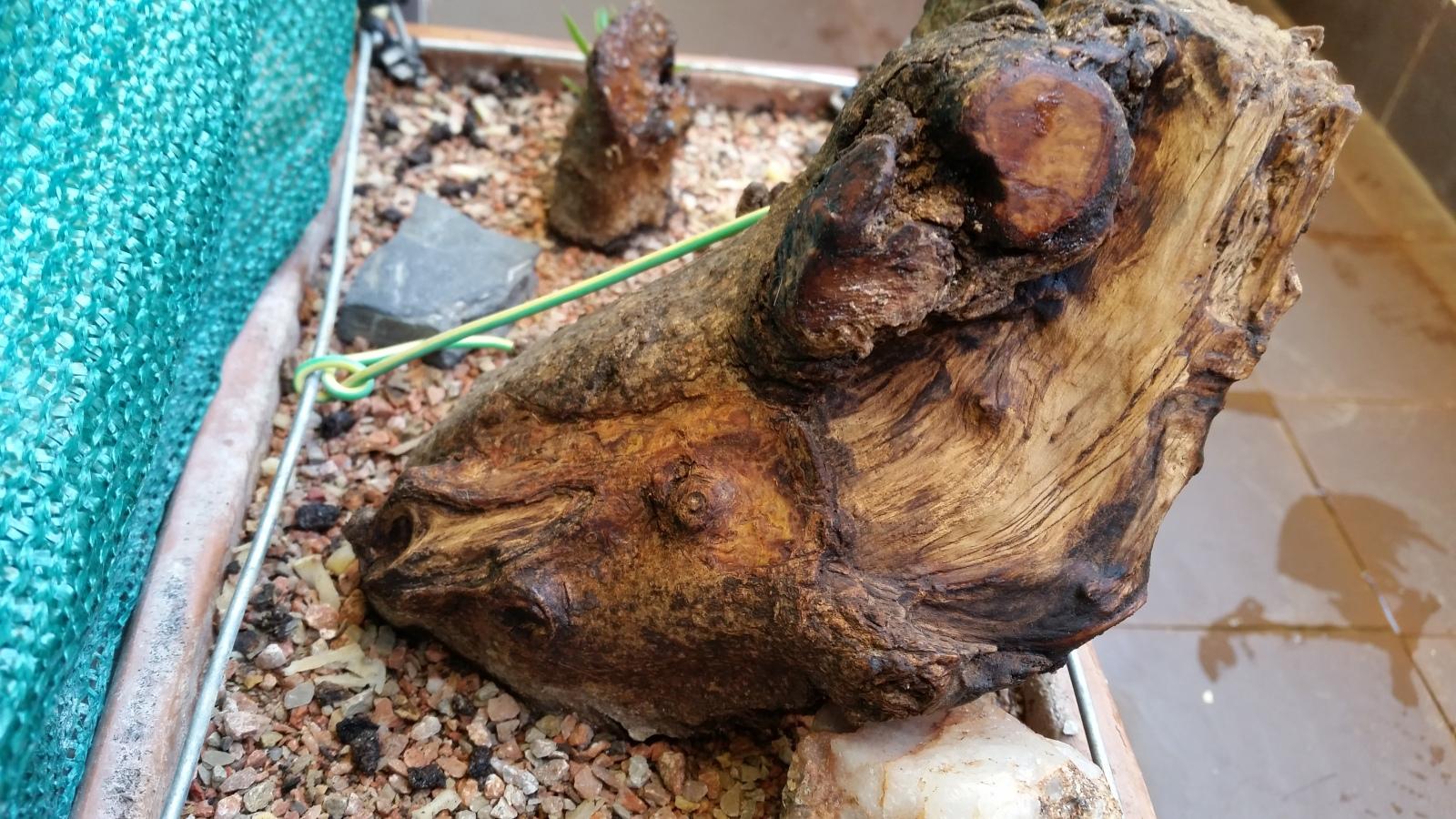 esqueje de tronco de olivo Ztfy83