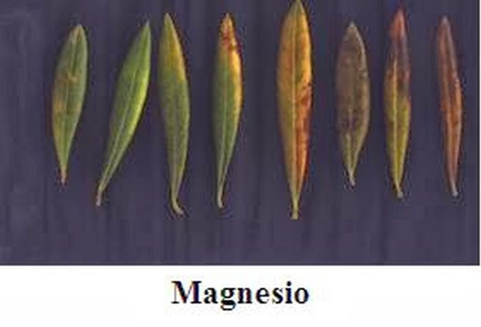 Fotos de carencias de nutrientes 14b5fmf