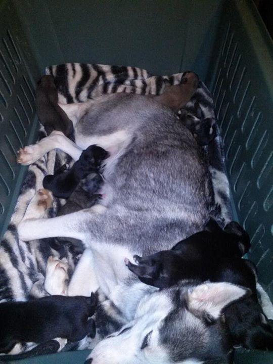 Kodiak , 10 Months old , Husky/Mastiff/Rotty mix. 14uywsi
