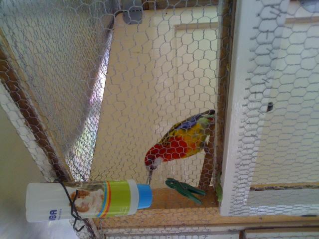 papagaji i pojilice 154dbwp