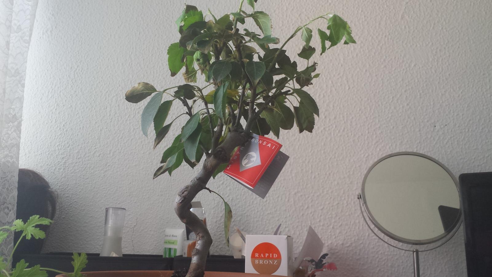 Problema con mi primer bonsai malus spp.  15rjhuc