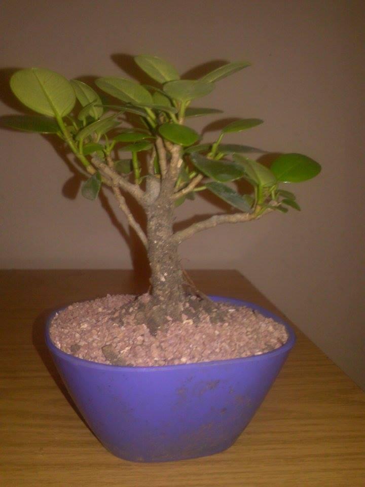 Nuevo me presento y mi bonsai  25rzb6p