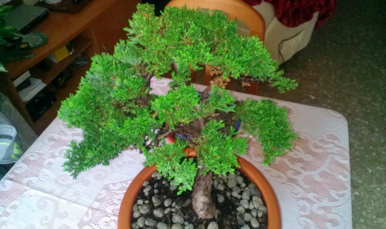 ¿ es lo mismo el Juniperus Procumbens nana que el Prince of Walles ? 29dz8ev