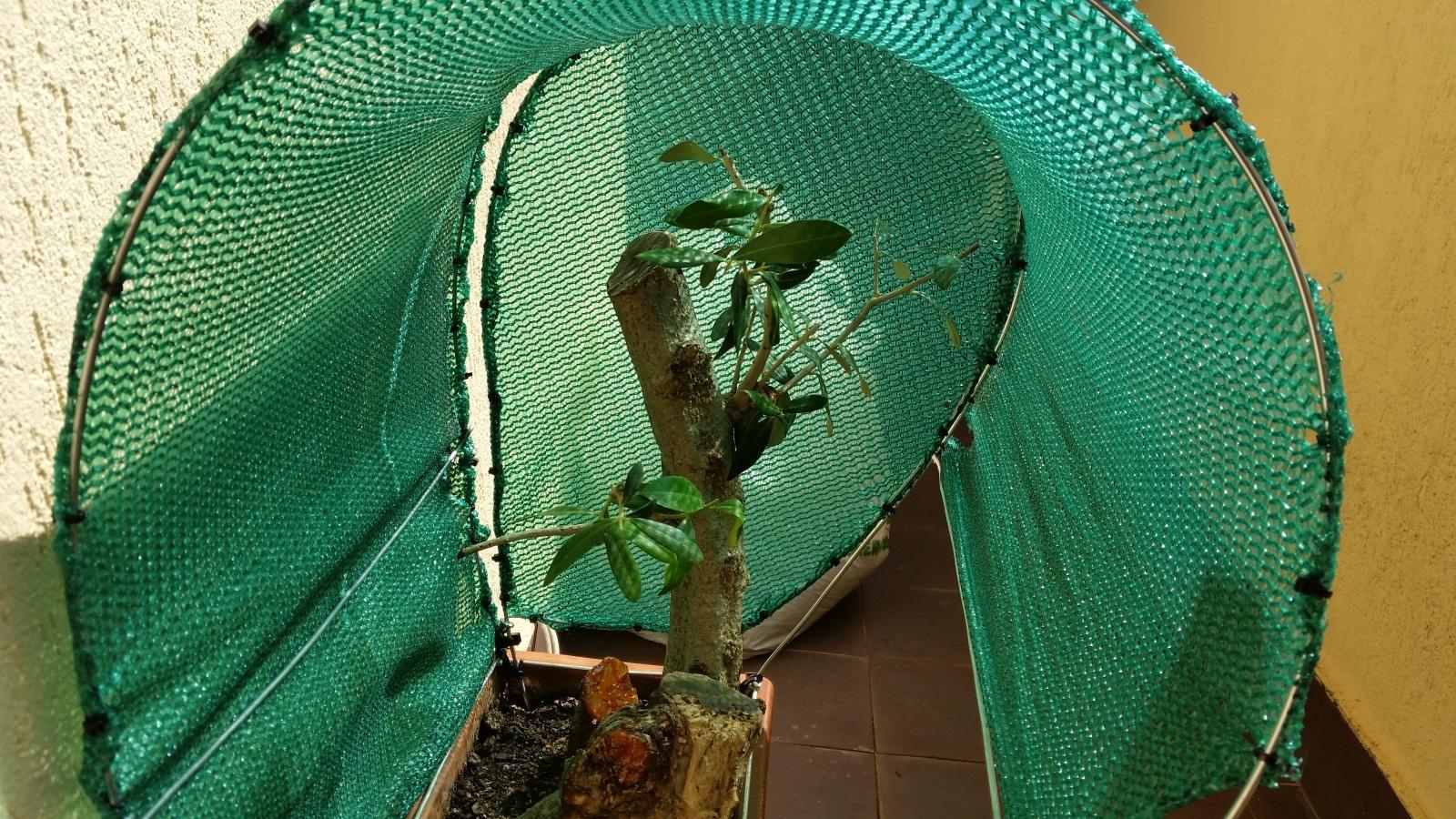 esqueje de tronco de olivo 2k1lrn