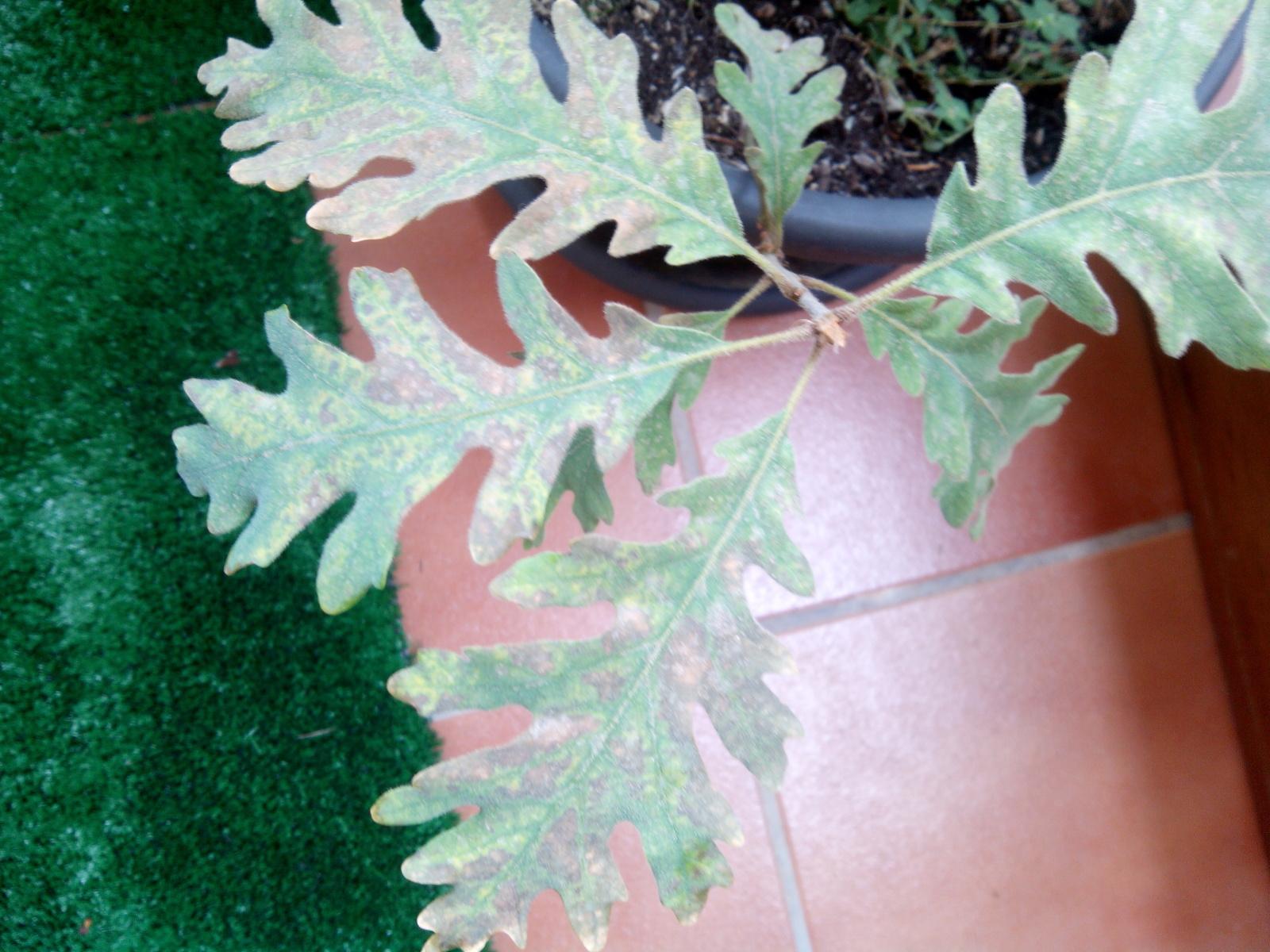 hojas marrones roble 2nla7ep