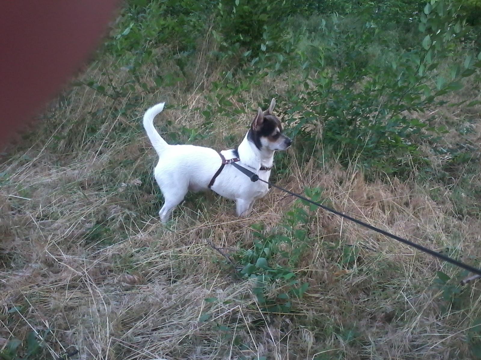 Идентификация собаки -чихуа или нет? - Страница 2 2qvxc87