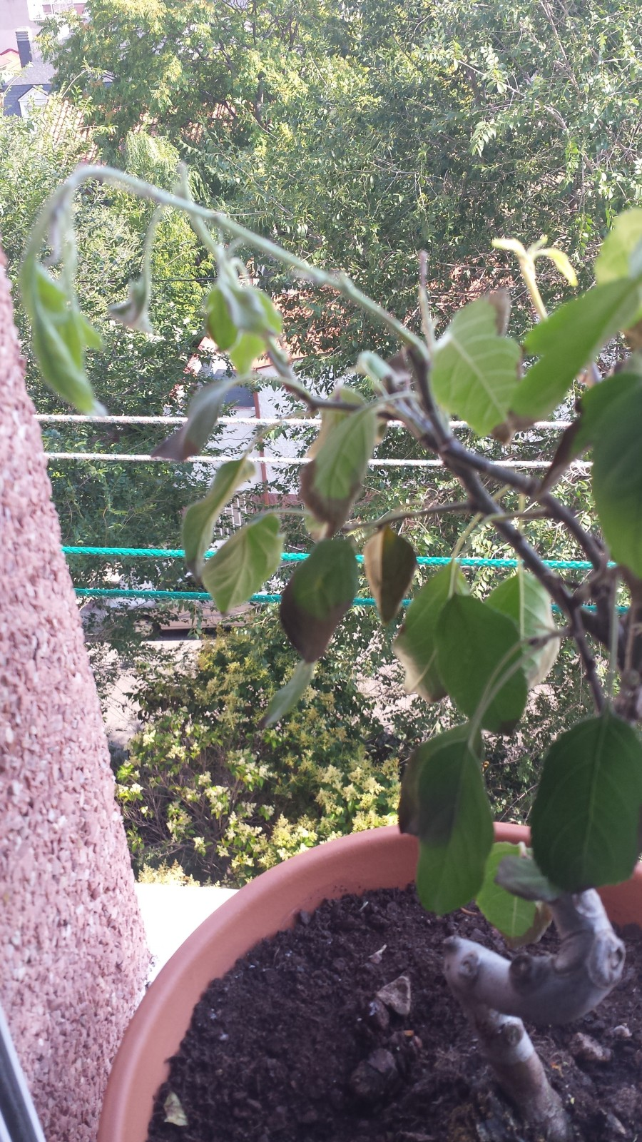 Problema con mi primer bonsai malus spp.  2uq2mtu