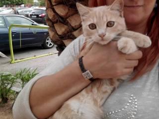 Moody, espectacular gatito color vainilla y ojos miel, esterilizado, nacido en Abril´14 necesita hogar 2v9chma