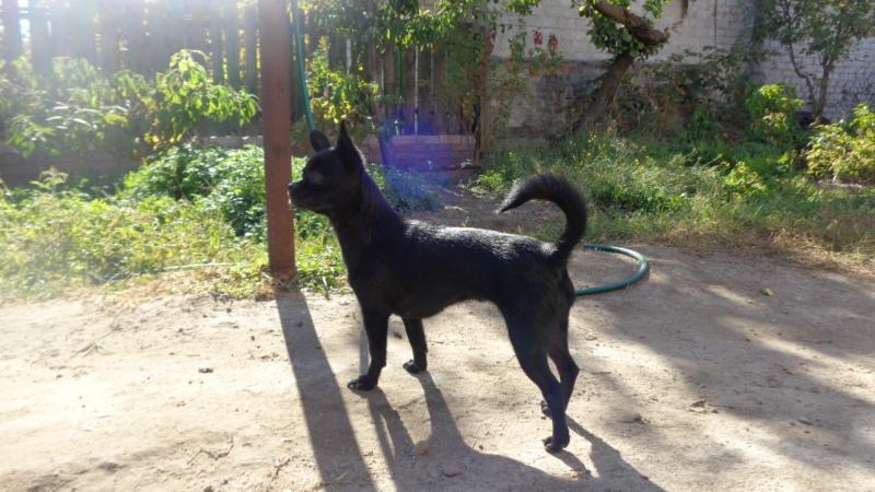 Идентификация собаки -чихуа или нет?  52mhs1