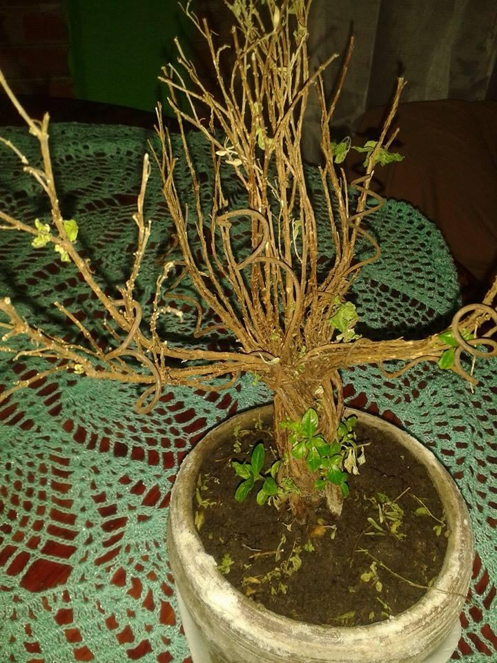 Mi bonsái se muere, AYUDA Jb4qzc