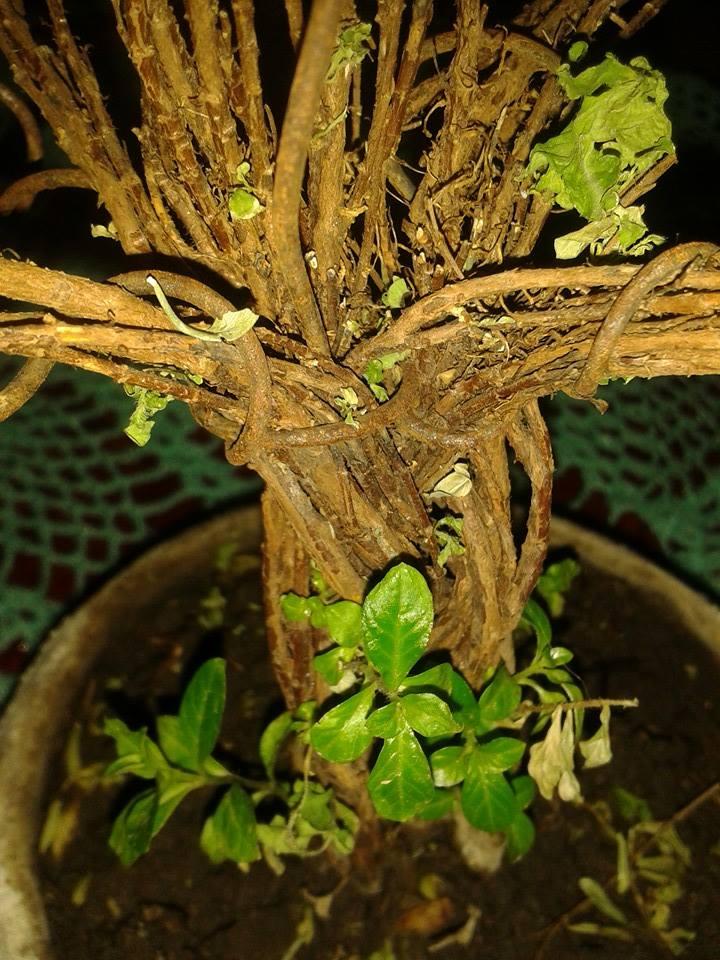 Mi bonsái se muere, AYUDA Ke7uyp
