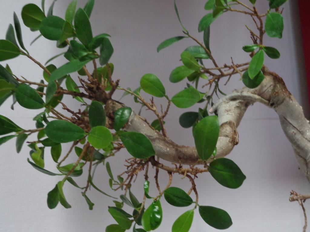 Plaga en mi bonsai ¡AYUDA! Neiwzb