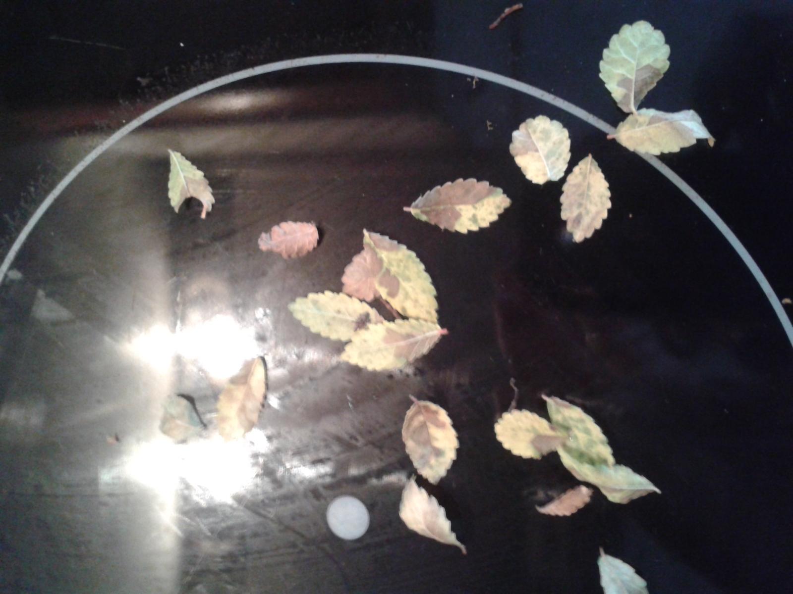 SOS Se le caen las hojas a mi olmo chino !!!! Oi98r5