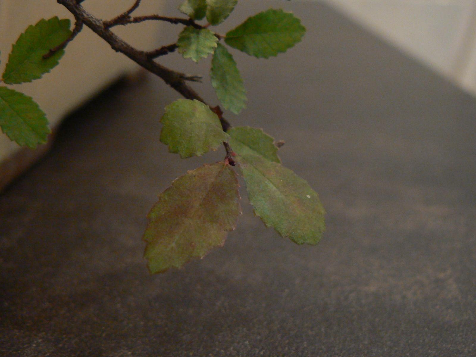 ¿Por qué están algunas hojas de mi olmo chino rojizas? S6rwvs