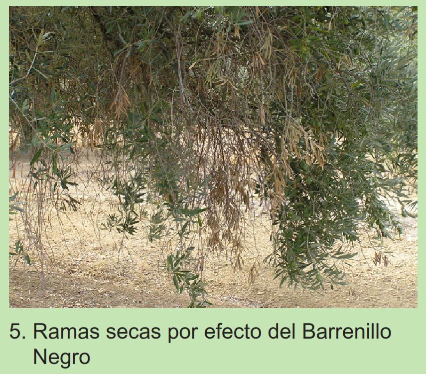 Barrenillos del olivo Sb642v