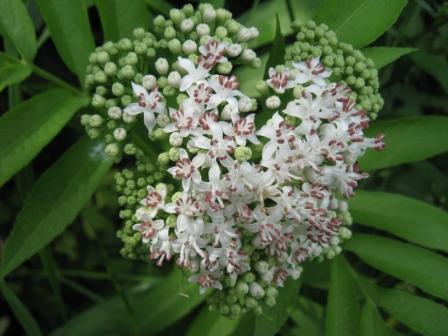 ABDOVINA (Sambucus ebulus L.) 108hgci