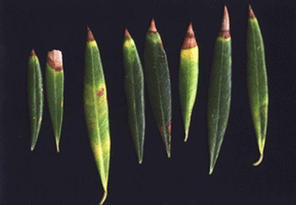 Fotos de carencias de nutrientes 14crzmg