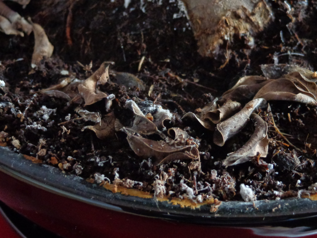 Plaga en mi bonsai ¡AYUDA! 14debvd
