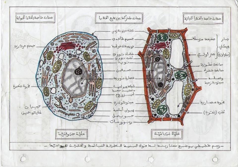 الخلية النباتية و الحيوانية 14wrrba
