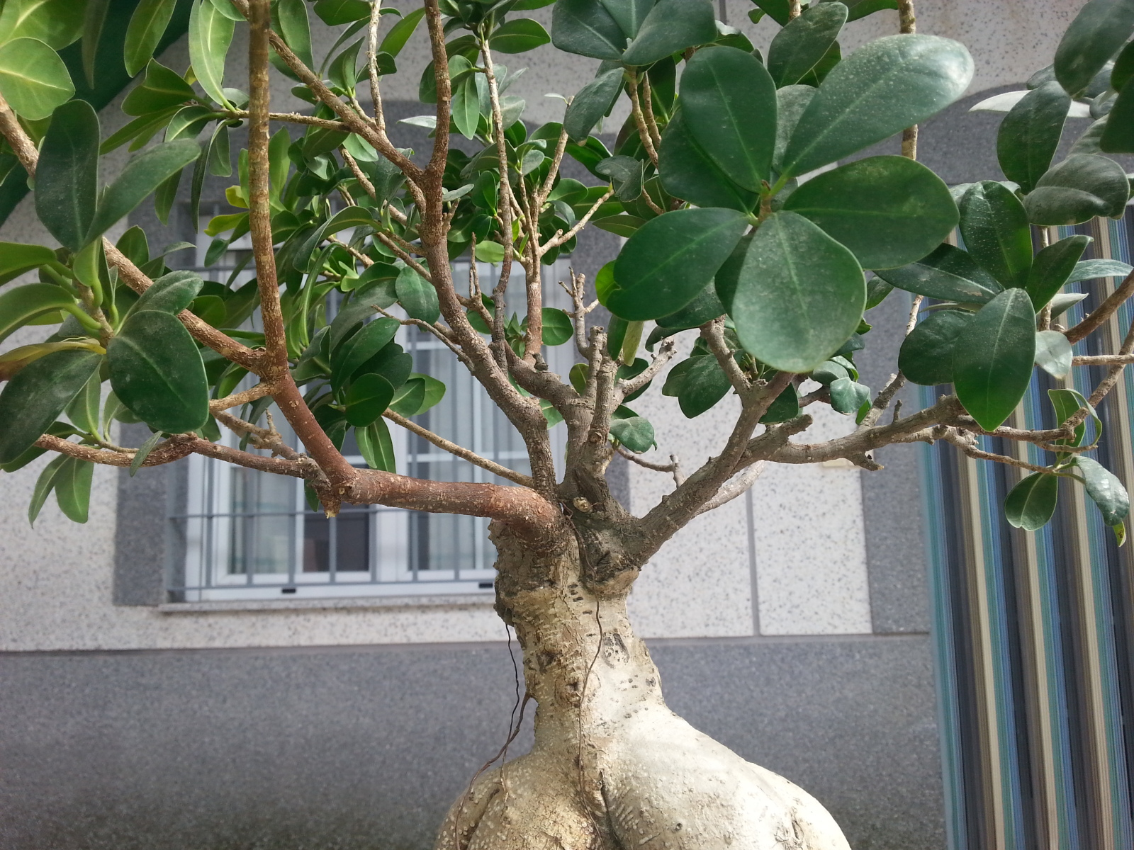 Mi Ficus Ginseng y yo - Evolución 1q074n