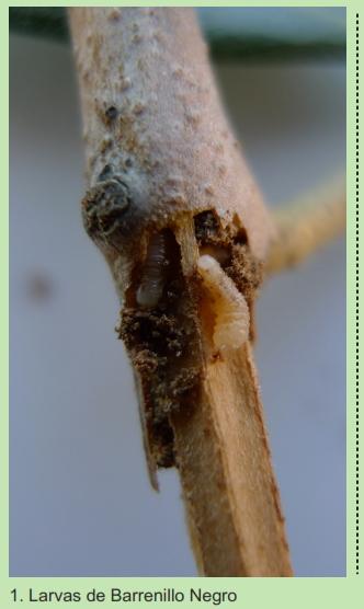 Barrenillos del olivo 20pwsg2