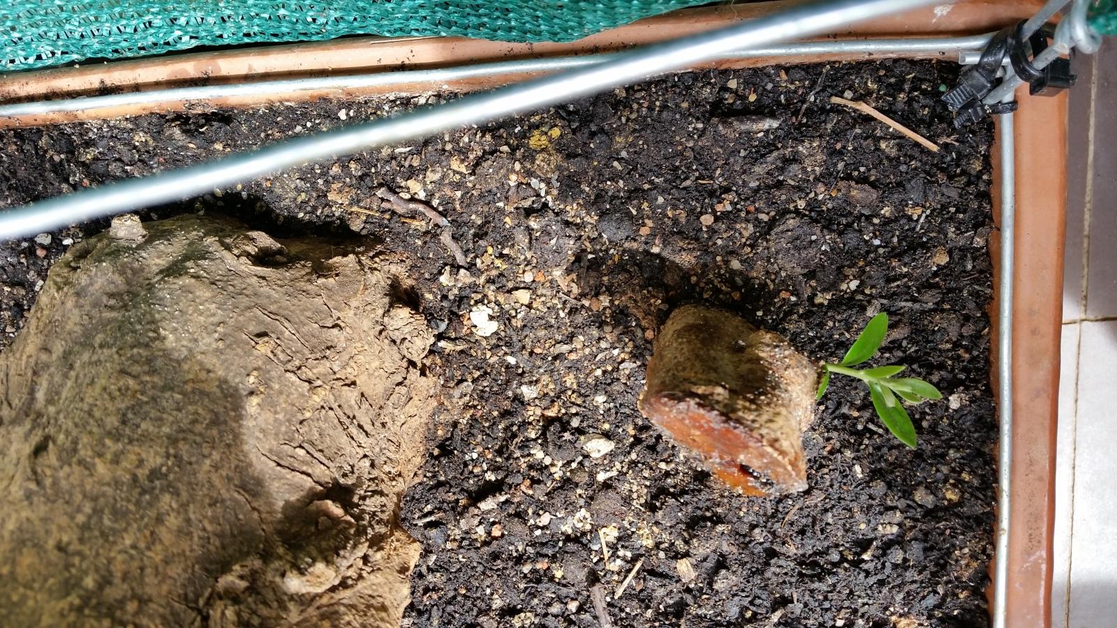 esqueje de tronco de olivo 23hnn5s