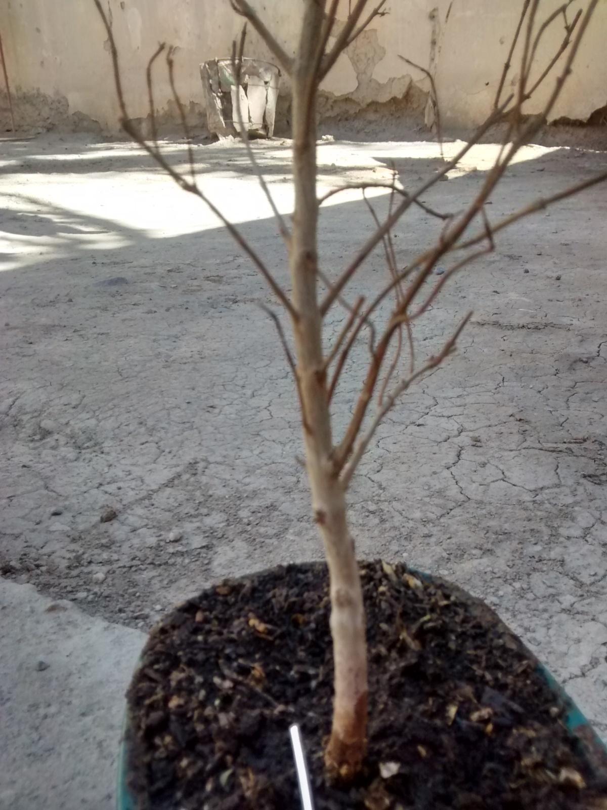 Ayuda urgente! Eugenia myrtifolia se me seca y no lo puedo detener 250kt55