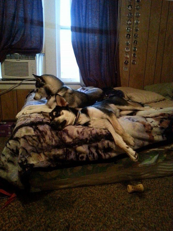 Kodiak , 10 Months old , Husky/Mastiff/Rotty mix. 25i22w9