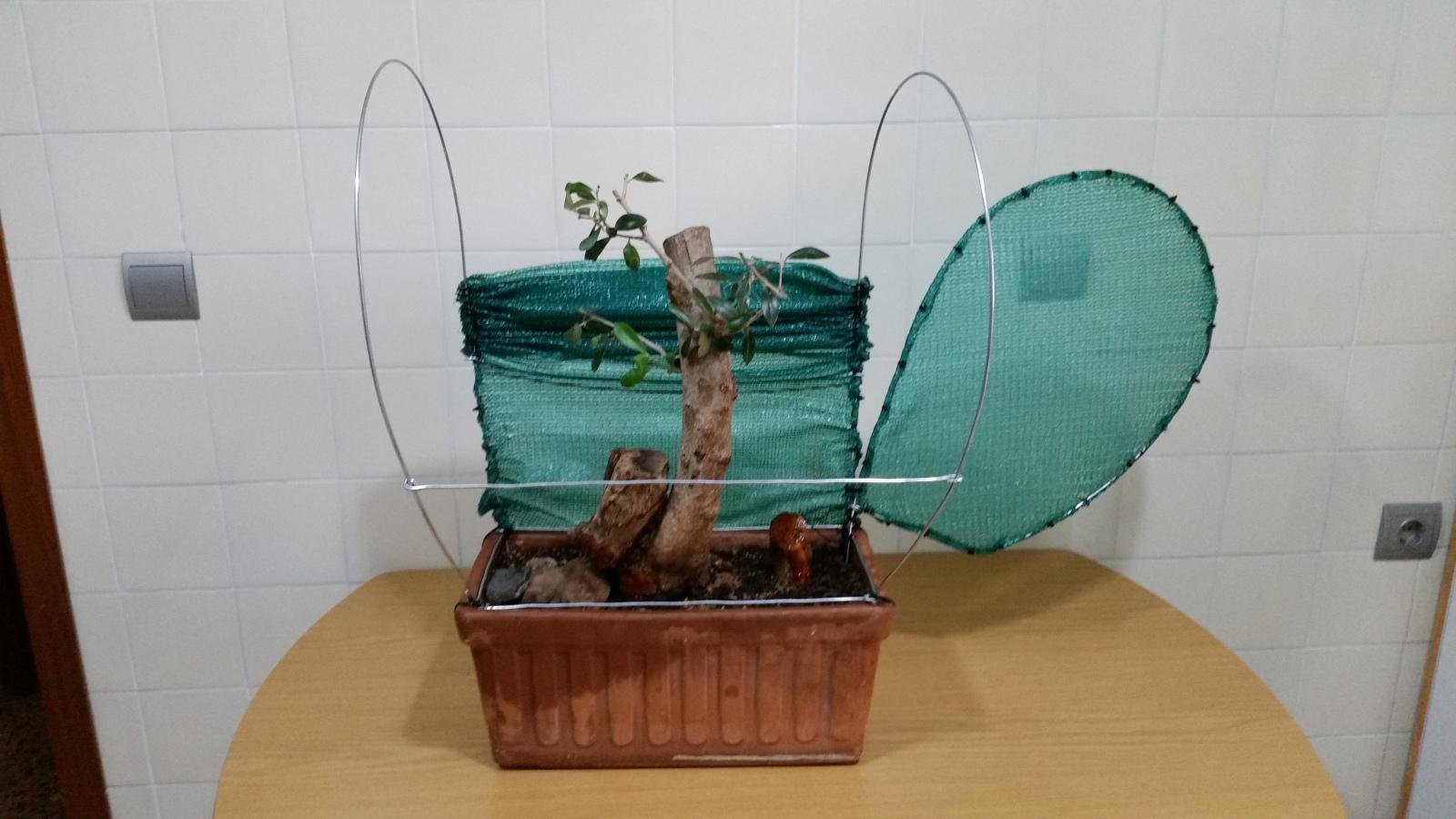 esqueje de tronco de olivo 295wqcg
