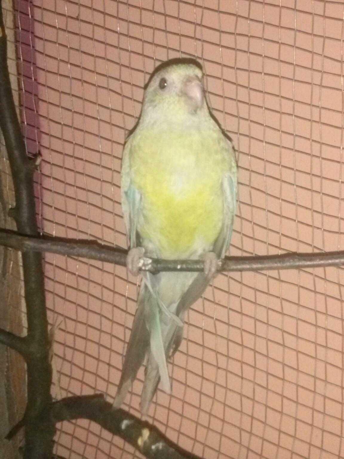 Pevajući papagaj(Psephotus  haematonotus) - Page 8 2hxamfn