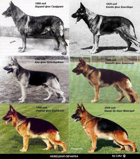 Мода и её роковая роль в селекции собак  2mfgbo5