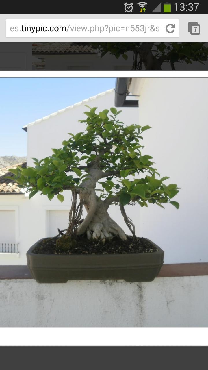 Mi Ficus Ginseng y yo - Evolución 2ns1ksw