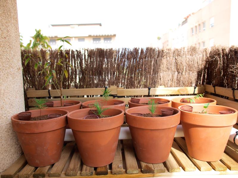 Pinos thunbergii de semilla (actualización 2015) 2qlfng0