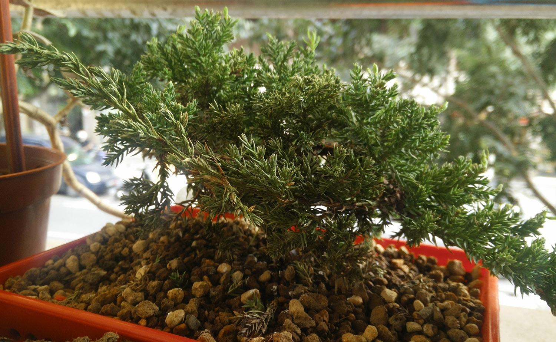 procumbens nana secandose 5cbzgn