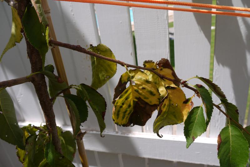 Requiem por un Prunus serrulata (gomosis extrema en cerezo japones) 9r60xf