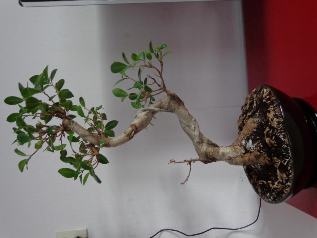 Plaga en mi bonsai ¡AYUDA! Faqvbl