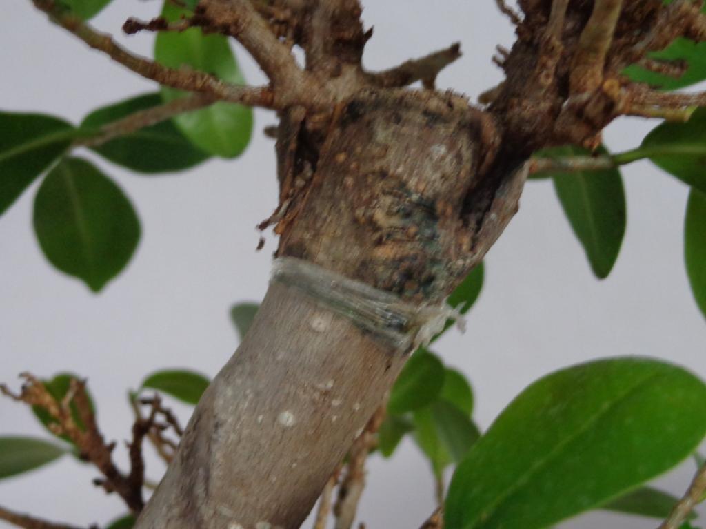 Plaga en mi bonsai ¡AYUDA! I3ywbm