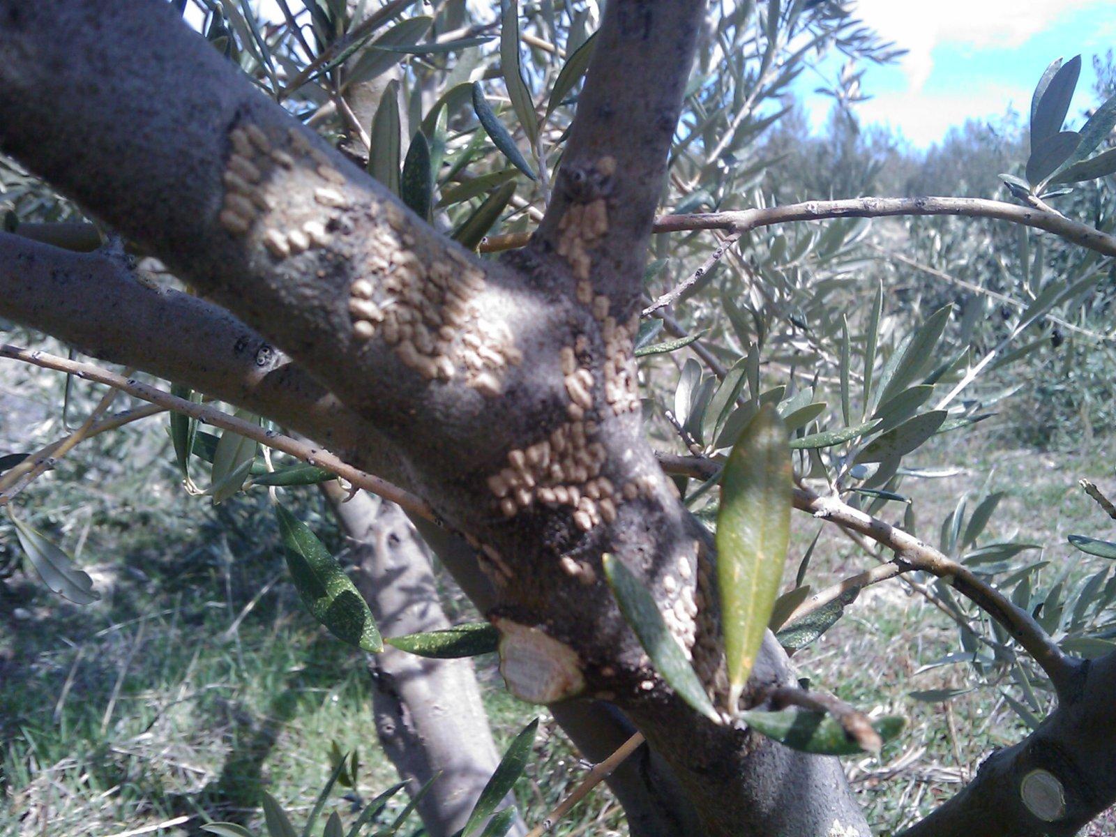 Recuperar olivos en peligro de muerte (Granada) Synjhc