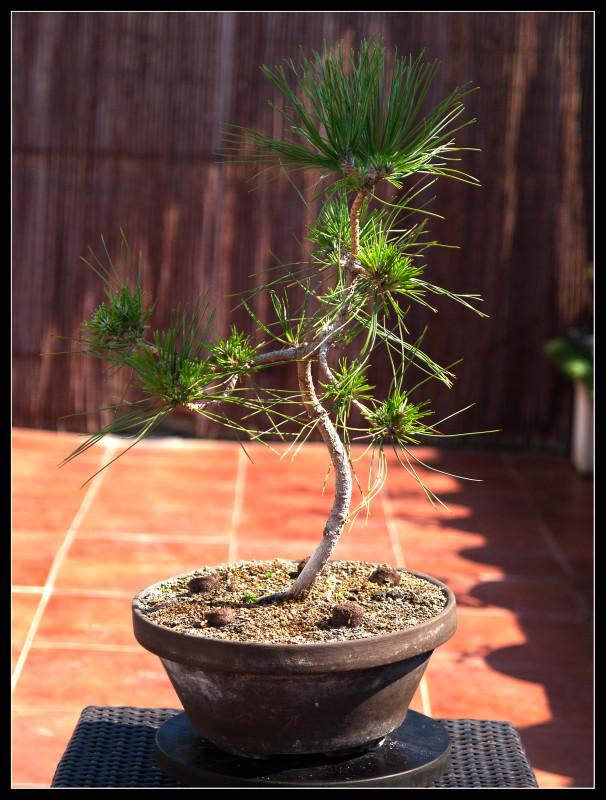 Pinos thunbergii de semilla (actualización 2015) Xmmycz