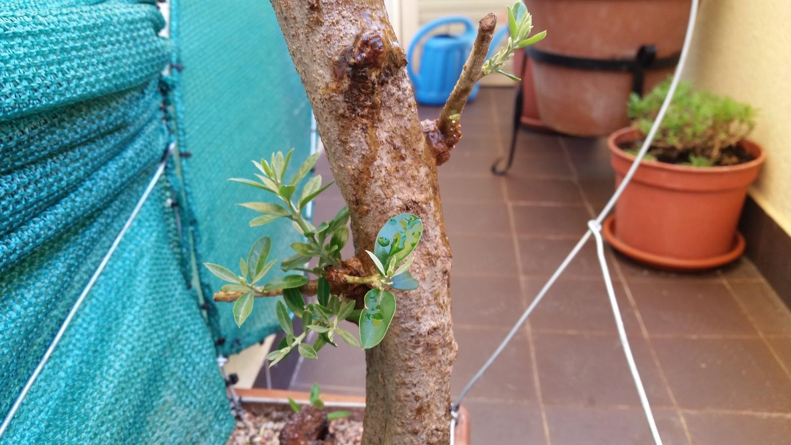 esqueje de tronco de olivo 153qvd4