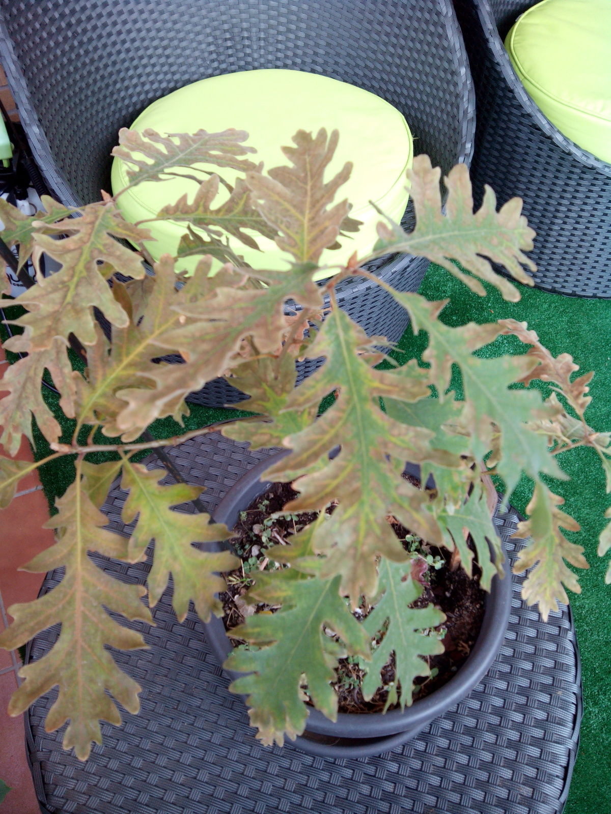 hojas marrones roble 20kyp8k