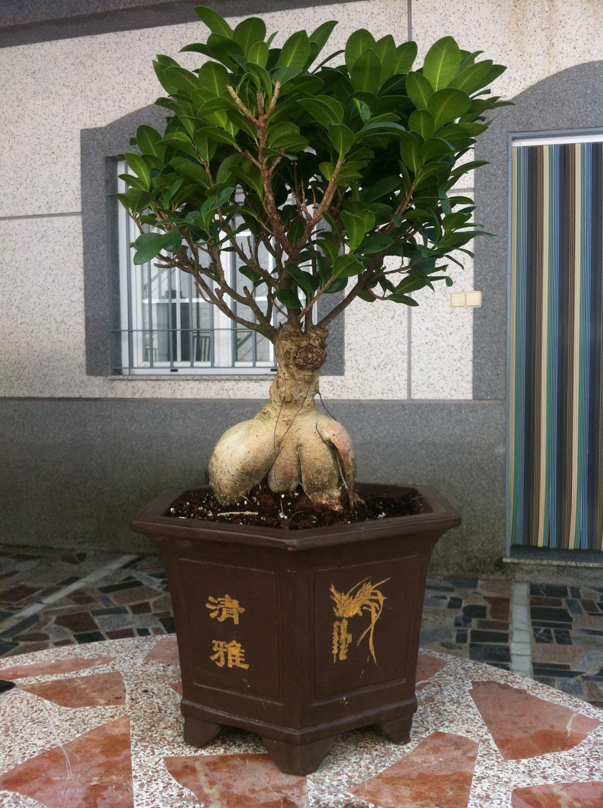 Mi Ficus Ginseng y yo - Evolución 2d9tctu