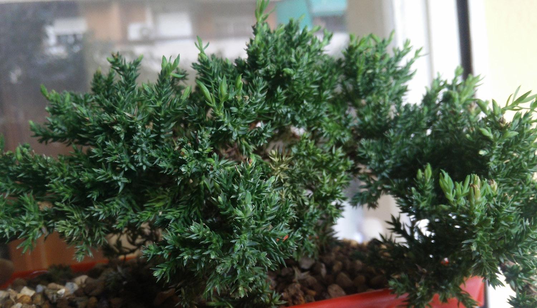 procumbens nana secandose 2epm2dw