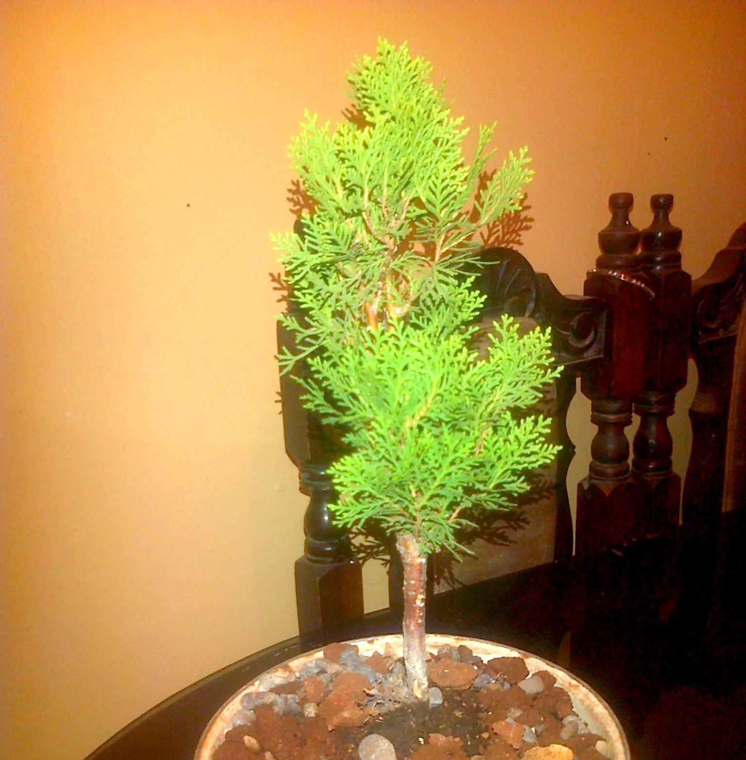 No sé que hacer con este pino Dorado............. 2r44y2u
